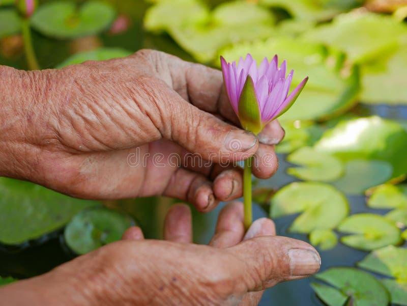 Piękna młoda wodna leluja podnoszą rękami stary pracowity rolnik obrazy royalty free