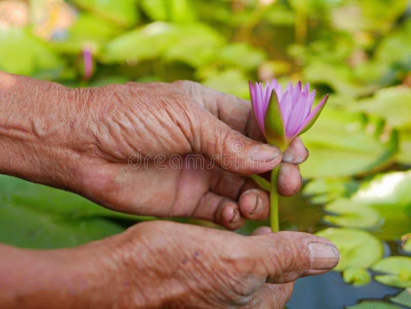 Piękna młoda wodna leluja podnoszą rękami stary pracowity rolnik zdjęcia royalty free