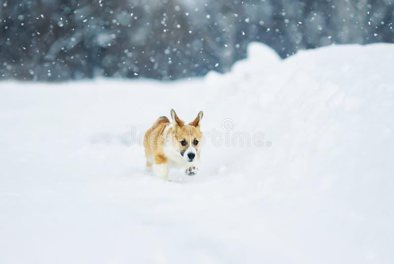 Piękna mała czerwona szczeniaka corgi zabawa biega przez białego pole w zimie w wiosce podczas opad śniegu zdjęcia royalty free