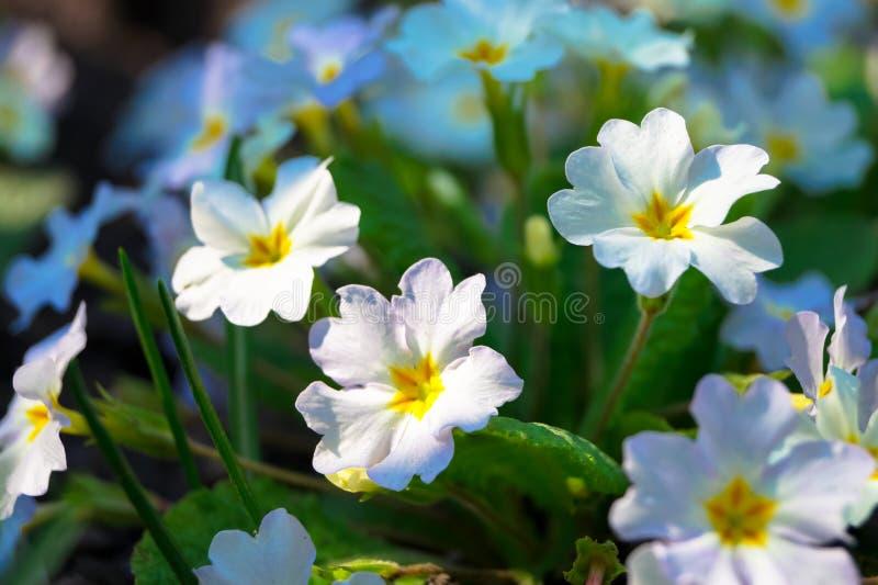 Piękna mała wiosna kwitnie pierwiosnku zdjęcie stock