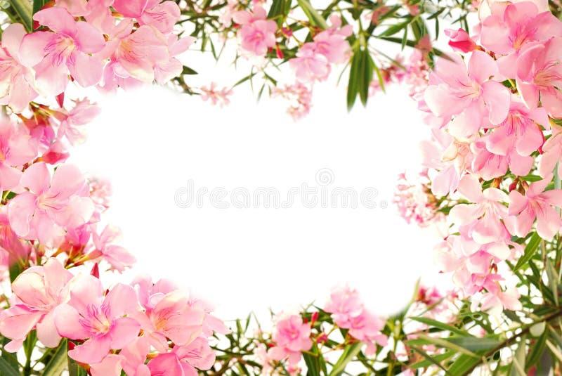 Piękna menchia kwiatu granica na bielu odizolowywającym zdjęcie stock