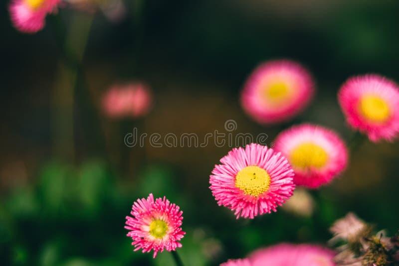 Piękna menchia kwitnie dla miłość pojęć obraz stock
