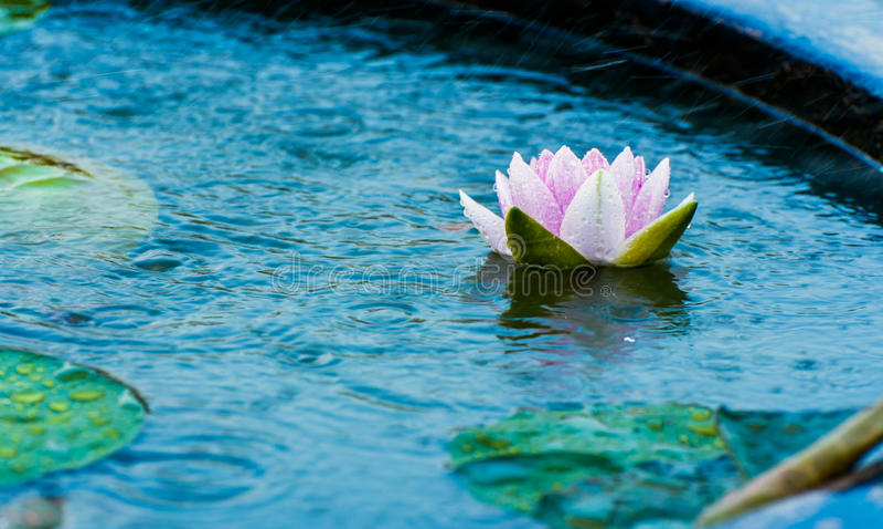 Piękna menchia waterlily, lotosowy kwiat w stawie z deszczem lub obraz stock