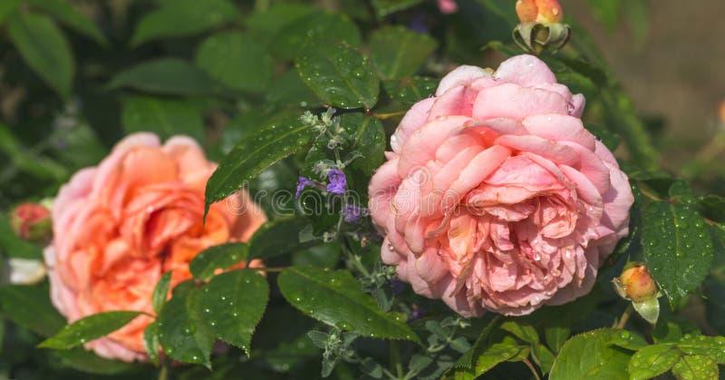 Piękna menchii róża z kropelkami na płatkach ogród w jesieni obraz stock