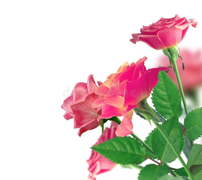 Piękna menchii róży granica nad bielem zdjęcia stock