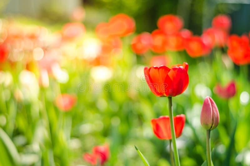 Piękna natury scena z kwitnącym tulipanem w słońce racy /Beautiful łące pole kwitnie tulipanu obraz royalty free