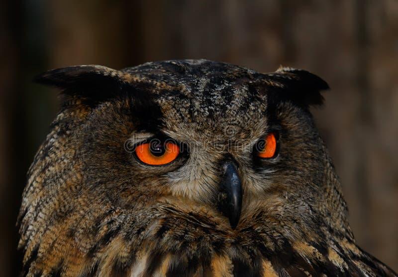 piękna noc się pomarańcze sowa zdjęcia stock