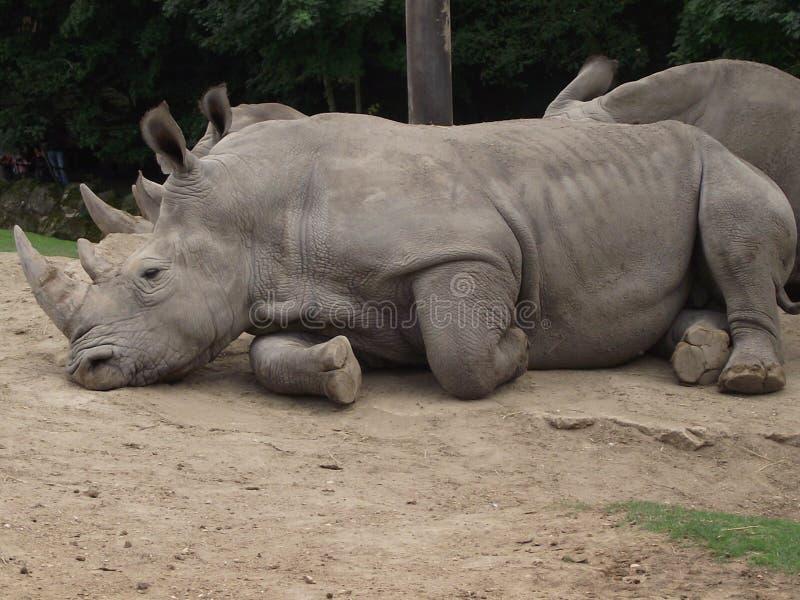 Piękna nosorożec zdjęcia stock