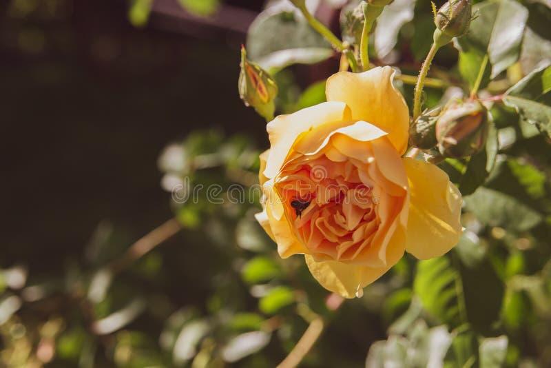 Piękna odosobniona kolor żółty róża z pszczoły tłem obrazy royalty free