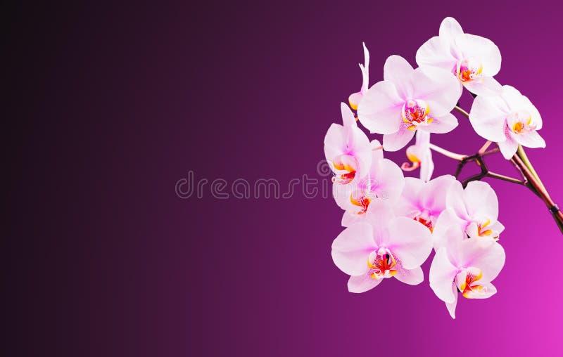 Piękna orchidea kwitnie na dobrze Fiołkowy tło z kopii przestrzenią na lewicie zdjęcie royalty free