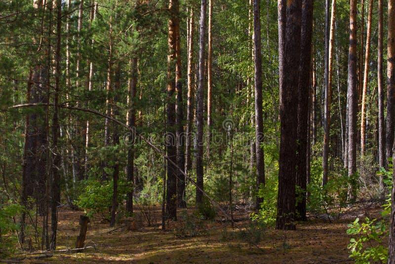 Piękna panorama sosnowy las z letnim dniem Iglaści drzewa Podtrzymywalny ekosystem obraz royalty free