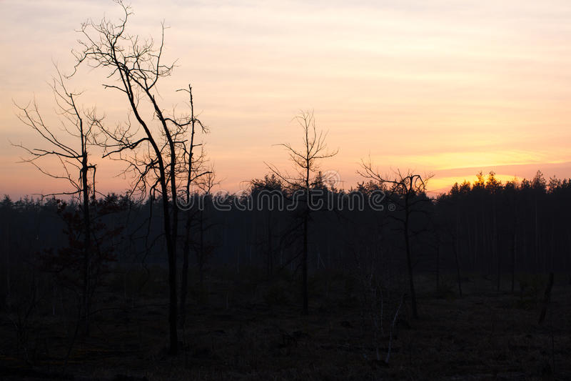Piękna panorama sosnowy las z letnim dniem Iglaści drzewa Podtrzymywalny ekosystem zdjęcia royalty free