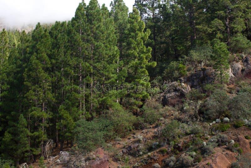 Piękna panorama sosnowy las z pogodnym letnim dniem Iglaści drzewa Podtrzymywalny ekosystem teide Tenerife zdjęcia stock