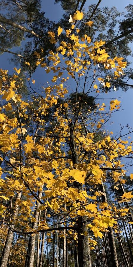 Piękna panorama złoci liście przed wysokimi sosnami zdjęcia royalty free