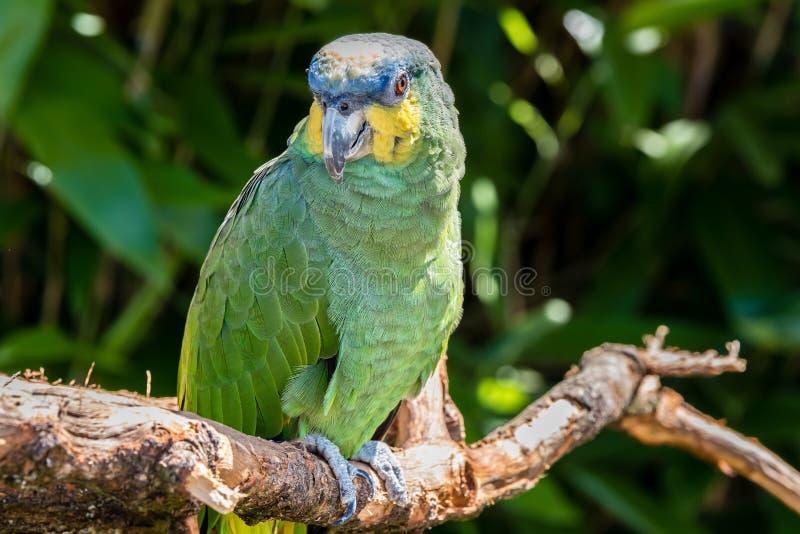 piękna papuga zdjęcia royalty free