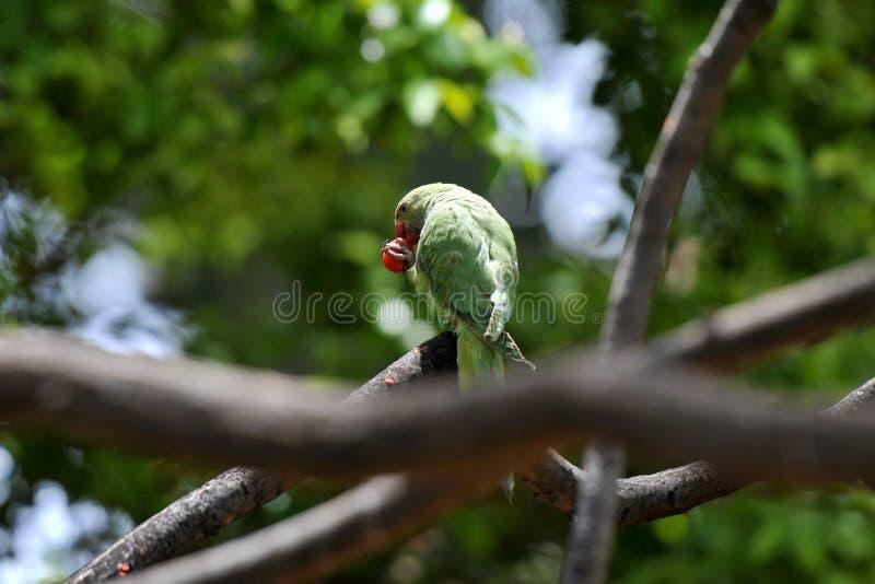 Piękna papuga z czerwonym jedzeniem na Tenerife obraz royalty free