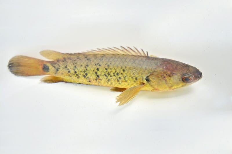 Piękna pięcie żerdzi ryba w jasnej wodzie zdjęcia royalty free