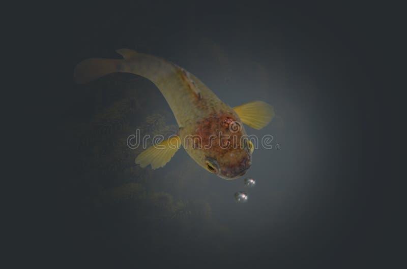 Piękna pięcie żerdzi ryba z lotniczymi bąblami obraz royalty free
