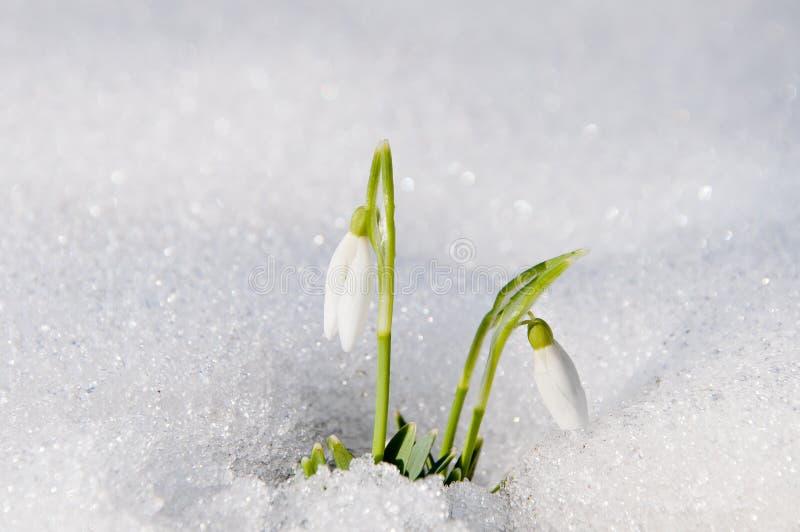 Piękna pierwszy wiosna kwitnie śnieżyczki pojawiać się spod obraz royalty free