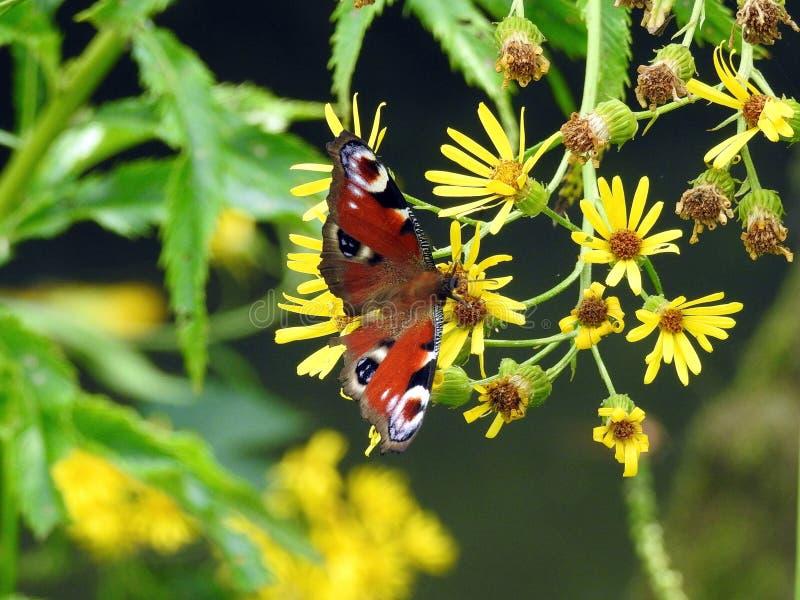 Piękna pomarańcze dostrzegał motyliego żółtego dzikiego kwiatu, Lithuania fotografia stock
