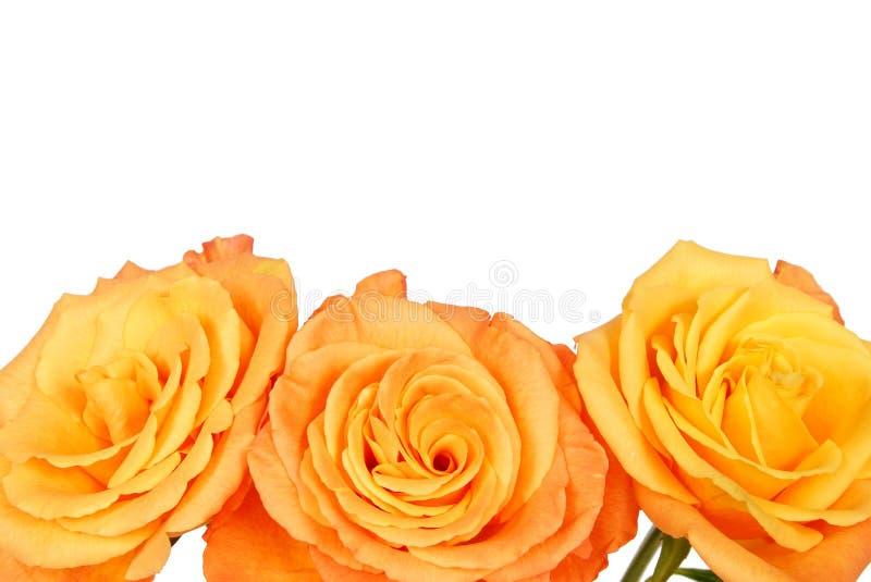 piękna pomarańcze wzrastał fotografia royalty free