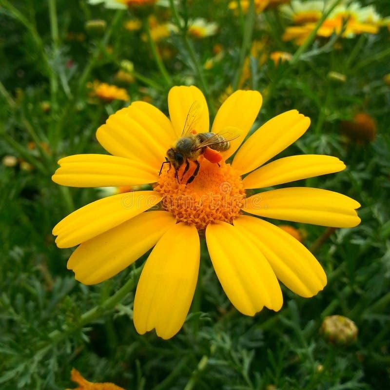 Piękna pszczoła na kwiacie obraz royalty free