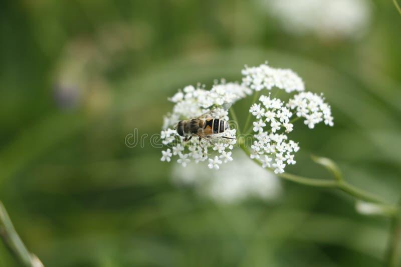 Piękna pszczoła na okwitnięciach krwawnik w lesie obrazy stock