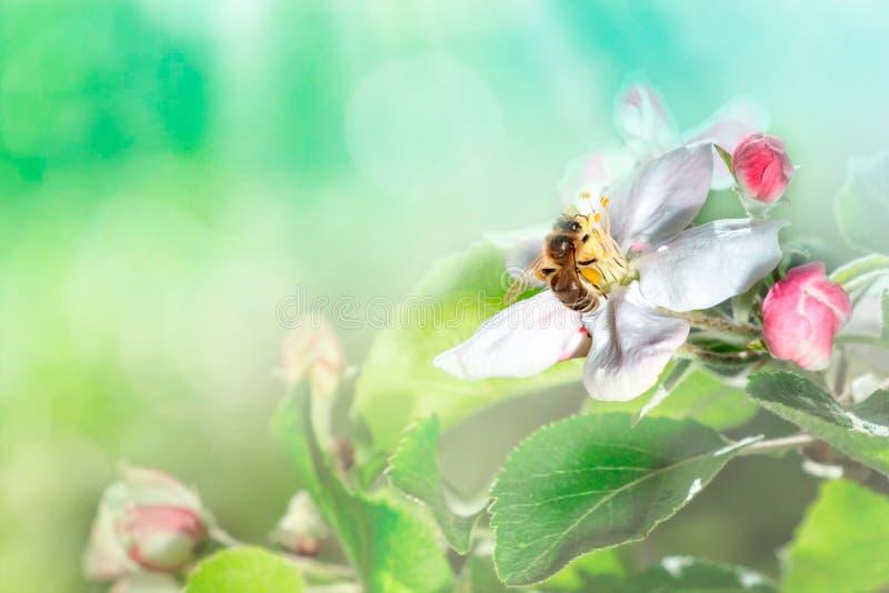 Piękna pszczoła w locie i gałąź kwiatonośna jabłoń w wiośnie przy wschód słońca na tle makro- bławym i zielonym target55_0_ zdjęcie royalty free