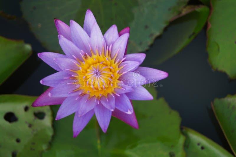 Piękna purpura i Żółty Lotosowy kwiat Kwitniemy w Luksusowym stawie obrazy royalty free