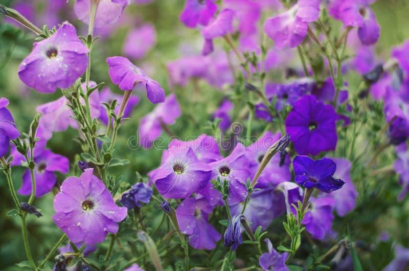 Piękna purpura kwitnie petuni, zadziwiająca tapeta zdjęcie royalty free