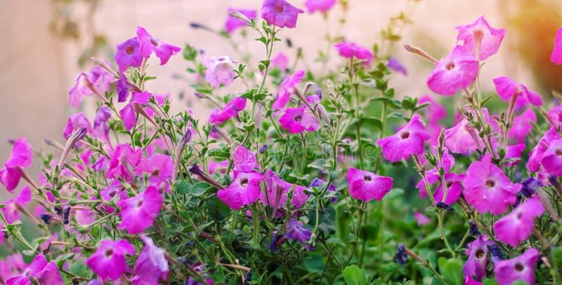 Piękna purpura kwitnie petuni, zadziwiająca tapeta obrazy royalty free