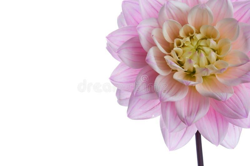 Piękna purpurowa dalia kwiatu głowa odizolowywająca zdjęcie royalty free