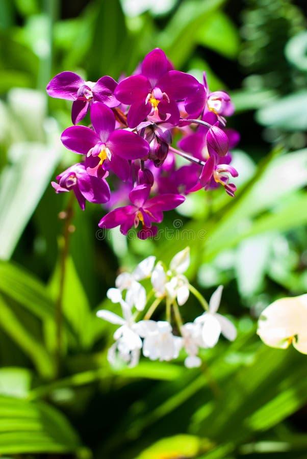 Piękna purpurowa orchidea obrazy stock