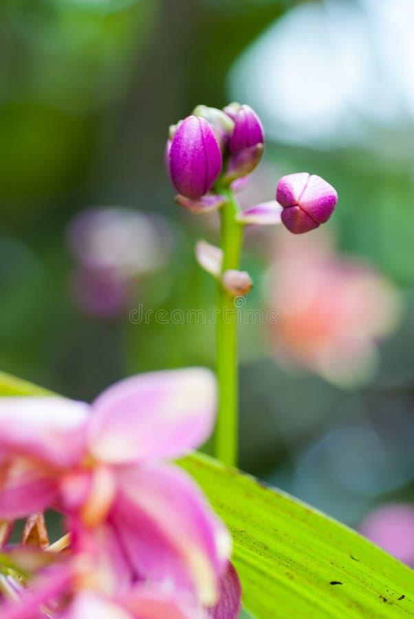 Piękna purpurowa orchidea obraz stock