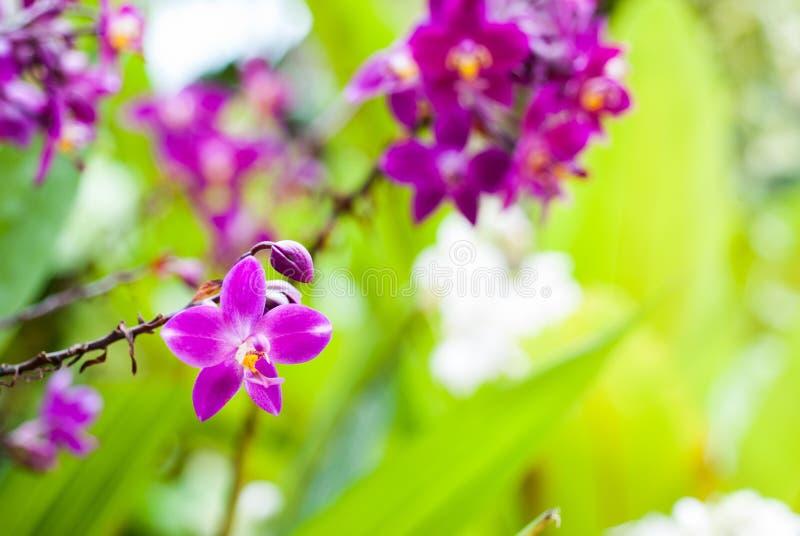 Piękna purpurowa orchidea zdjęcie royalty free