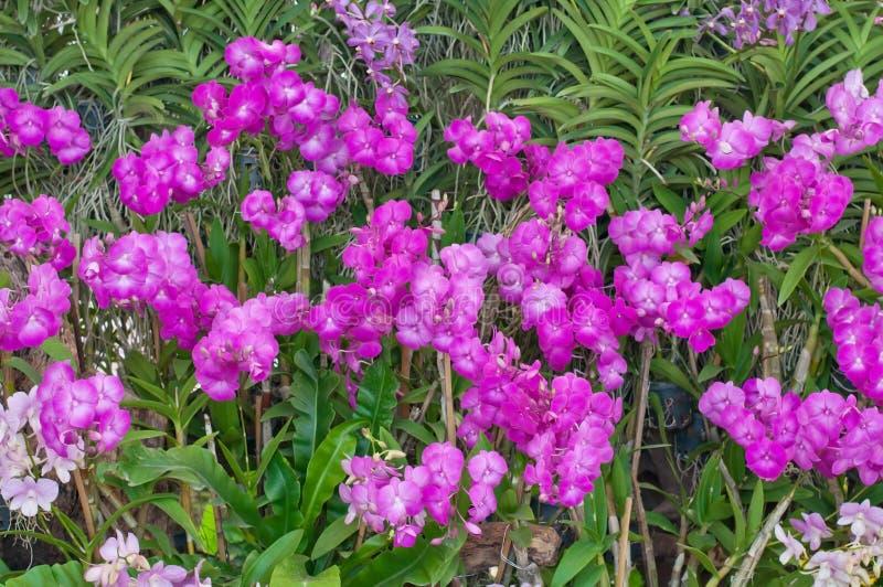 Piękna purpurowa orchidea w ogródzie obraz royalty free