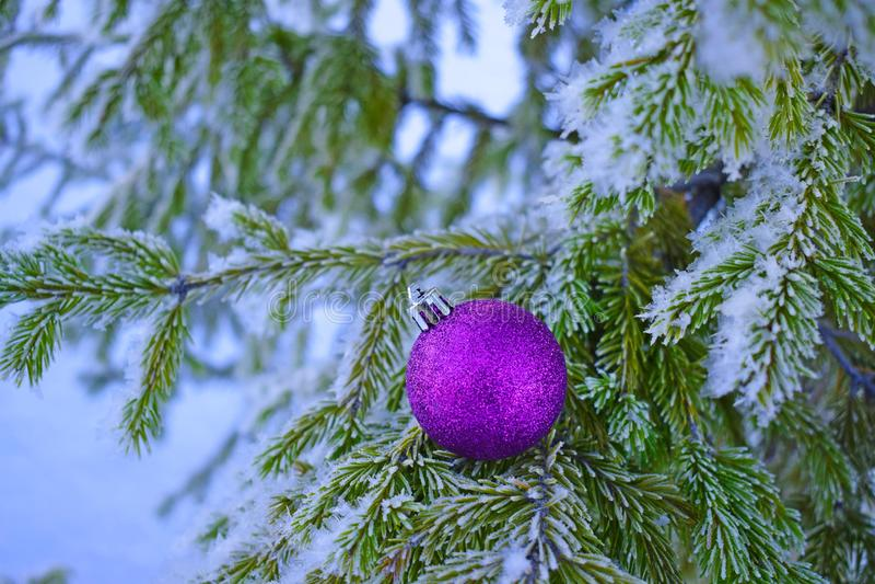 Piękna purpurowa piłka na śnieżystej choince fotografia stock