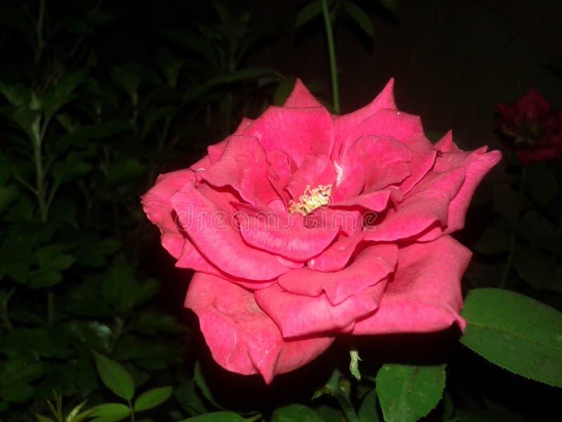 Piękna róża mój ogród zdjęcia stock