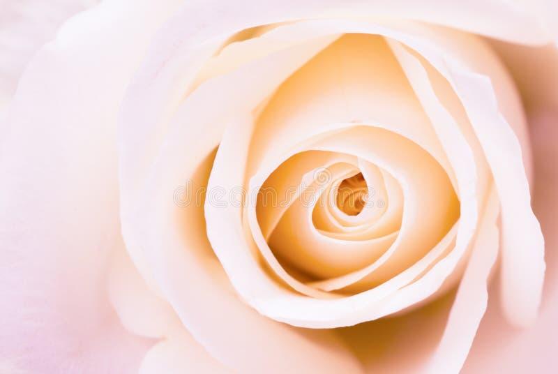piękna różową różę obrazy royalty free