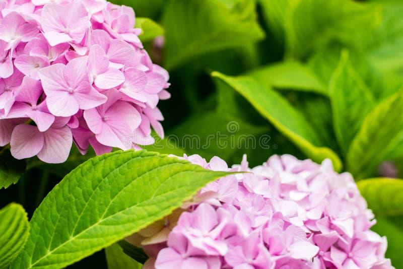 Piękna różowa hortensja lub hortensia kwiat zamknięty w górę Naturalny t?o kwiaty ogrodu letni kwiat kosmos kopii zdjęcie royalty free