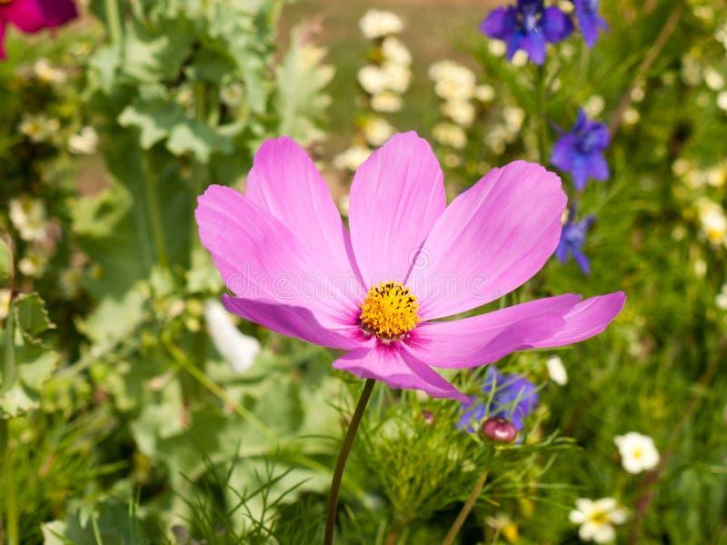 Piękna różowa kosmosu kwiatu głowa fotografia royalty free