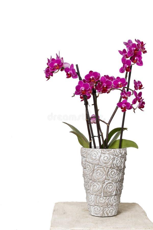 Piękna różowa orchidea kwitnie w ceramicznym garnku fotografia royalty free