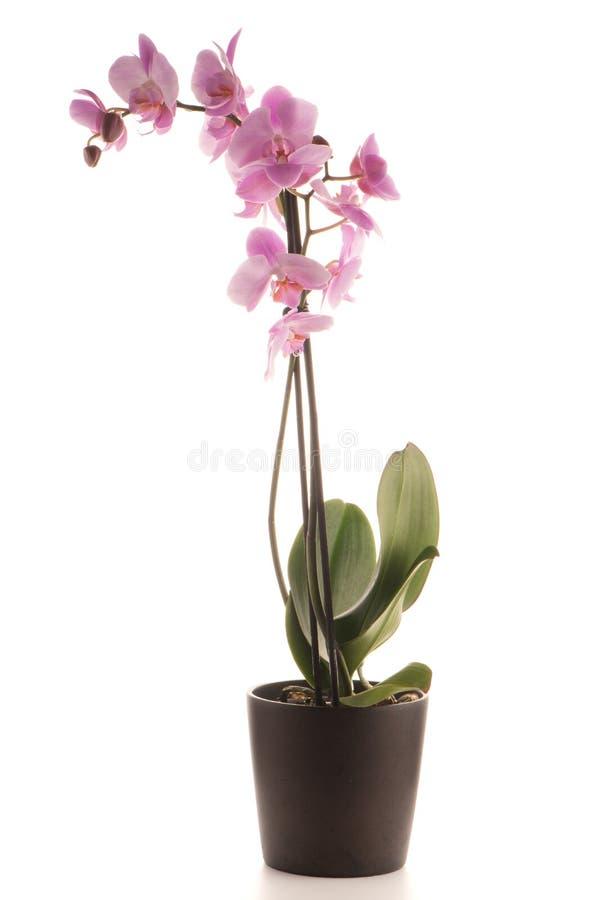 Piękna różowa orchidea w flowerpot zdjęcie stock