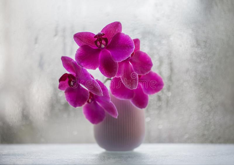 Piękna różowa orchidea w wazie na tle okno w górę kwiat orchidea Egzot menchii kwiat z bokeh od deszczu zdjęcie stock