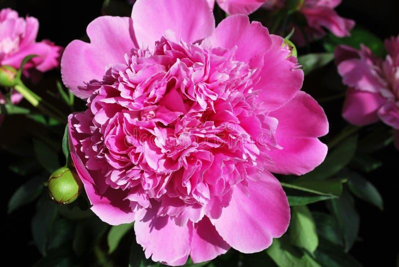 Piękna różowa peonia fotografia stock