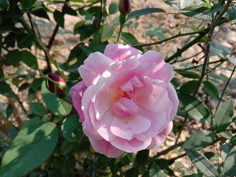 Piękna różowa róża indyjska w Indiach w Kanpur fotografia royalty free