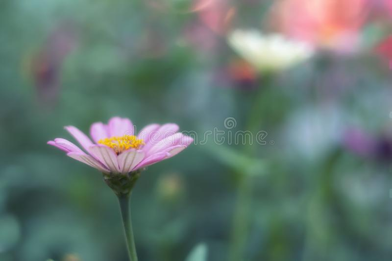 Piękna Różowa stokrotka, Bellis perennis na zieleń zamazującym ogródzie/ zdjęcie royalty free