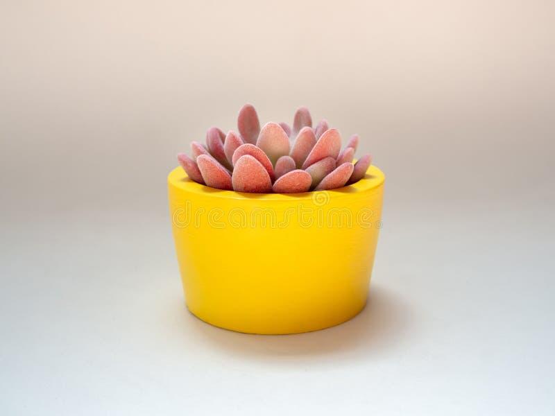 Piękna różowa tłustoszowata roślina w żółtym round betonu plantatorze Maluj?cy betonowy garnek dla domowej dekoracji zdjęcie royalty free