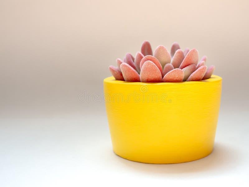Piękna różowa tłustoszowata roślina w żółtym round betonu plantatorze Maluj?cy betonowy garnek dla domowej dekoracji obraz royalty free