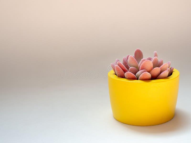 Piękna różowa tłustoszowata roślina w żółtym round betonu plantatorze Maluj?cy betonowy garnek dla domowej dekoracji zdjęcie stock
